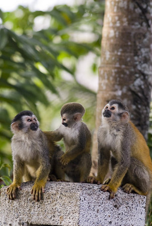 A family of mono titi - red backed squirrel monkey 6024