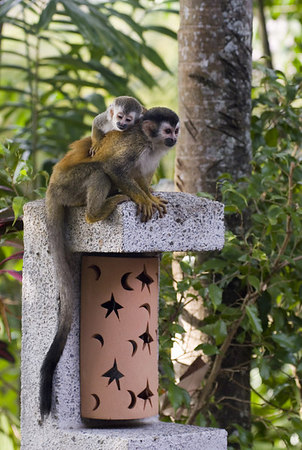 mother and child mono titi - red backed squirrel monkey 6024
