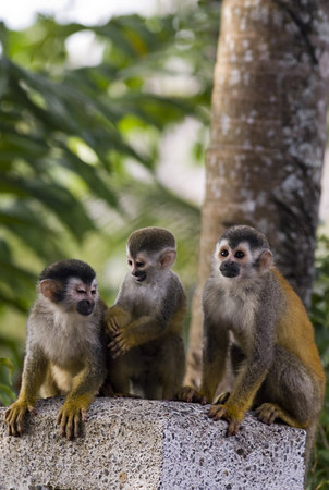 A family of mono titi - red backed squirrel monkey 6021