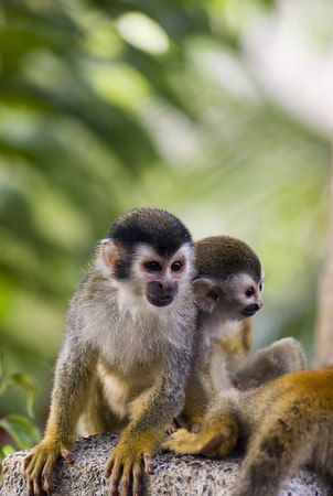 Mother and child mono titi - red backed squirrel monkey 6018