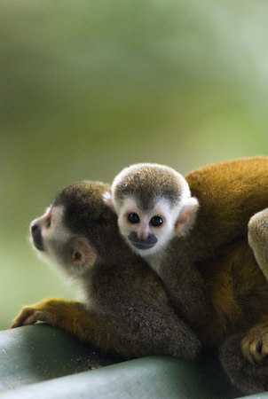 Image 4291 - Mono Titi Baby Mono Titi (red-backed squirrel monkey) on its mother's back - waiting to leap from a hotel roof. Costa Rican Wildlife photographed by a professional wildlife and nature photographer named Christina Craft.