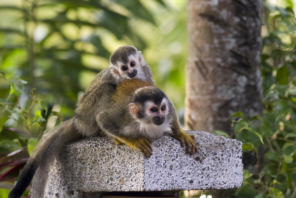 mother and child mono titi - red backed squirrel monkey 6049_8