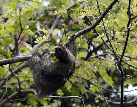 sloth manuel antonio three toed sloth 6376 v2