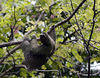 sloth manuel antonio three toed sloth 6376 v2