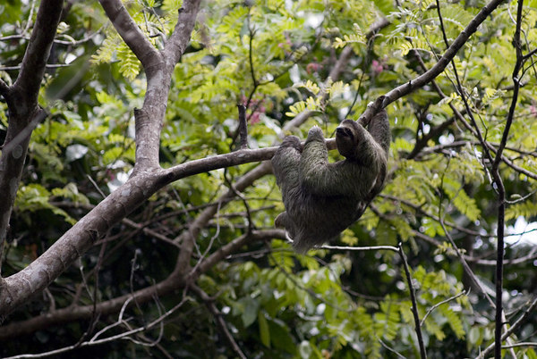 sloth manuel antonio three toed sloth 6376