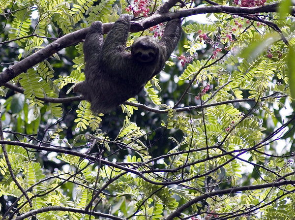 sloth manuel antonio 6259 32
