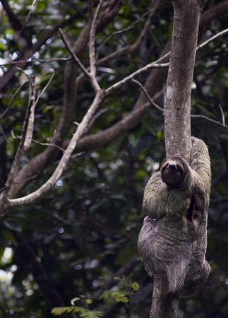 sloth manuel antonio three toed sloth 6348