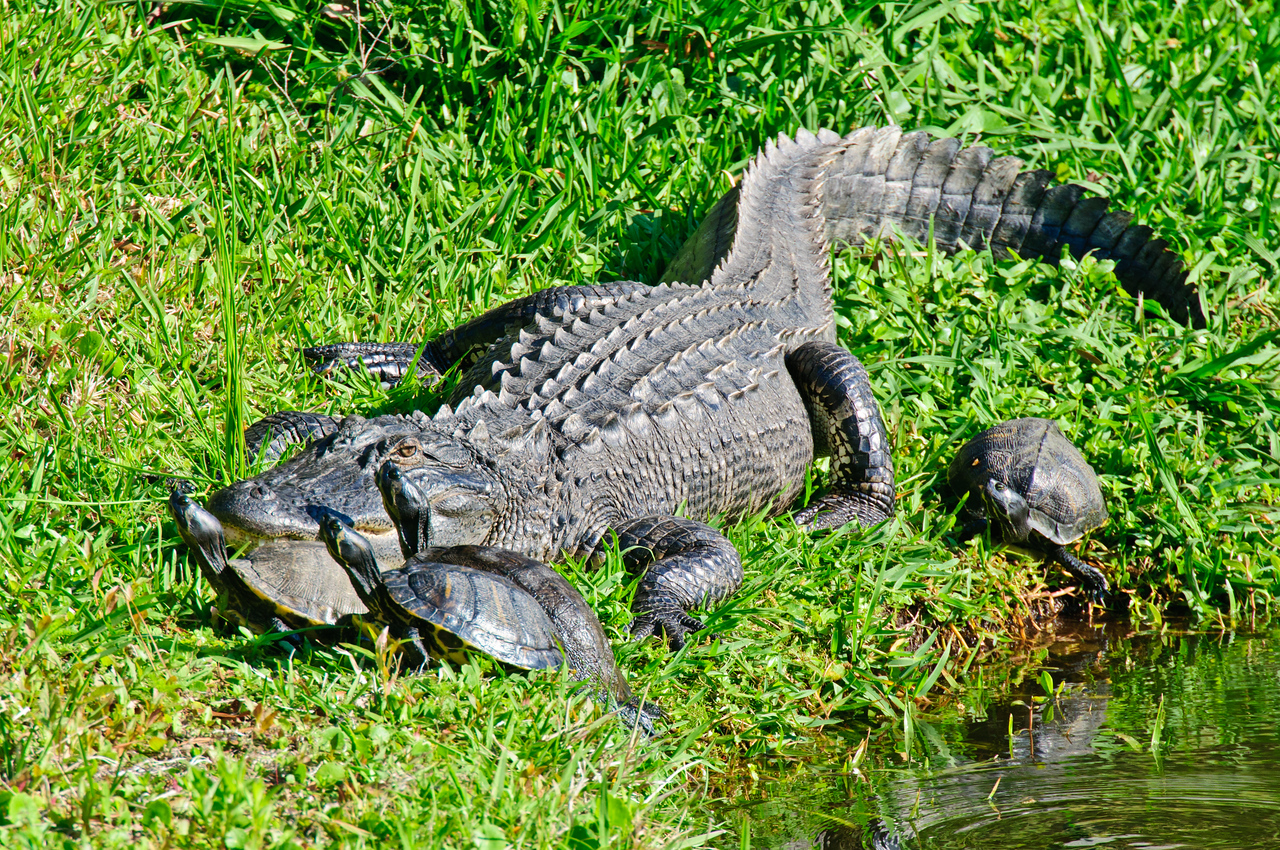 American Alligator with Turtles<br /> Hilton Head, SC