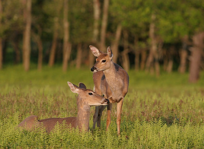 Two deer in the warm sunlight in Shenandoah National Park