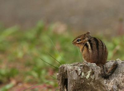 Chipmunk resting on a rock in Shenandoah National Park