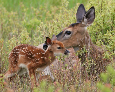 Mother deer and newly born fawn.  This was captured at Shenandoah National Park in the Big Meadows.