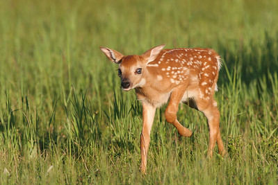 A Little fawn walking through the field in Shenandoah National Park