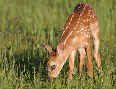 Young Fawn at Shenandoah National Park In the Big Meadow