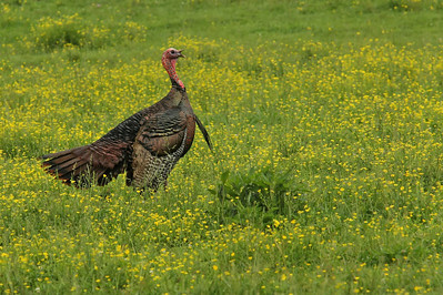 Wild Turkey walking through the field at Cades Coved in Tennessee