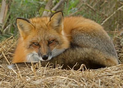 Red Fox In A Rescue Center