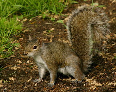 An Alert Squirrel
