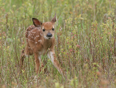 Cute Little fawn in the tall grasses