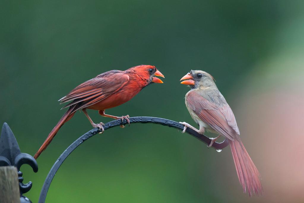 IMAGE: https://photos.smugmug.com/Wildlife-Photography/Bird-Photography/i-rq9dWvQ/0/e7019f9e/XL/RTB_9515-XL.jpg