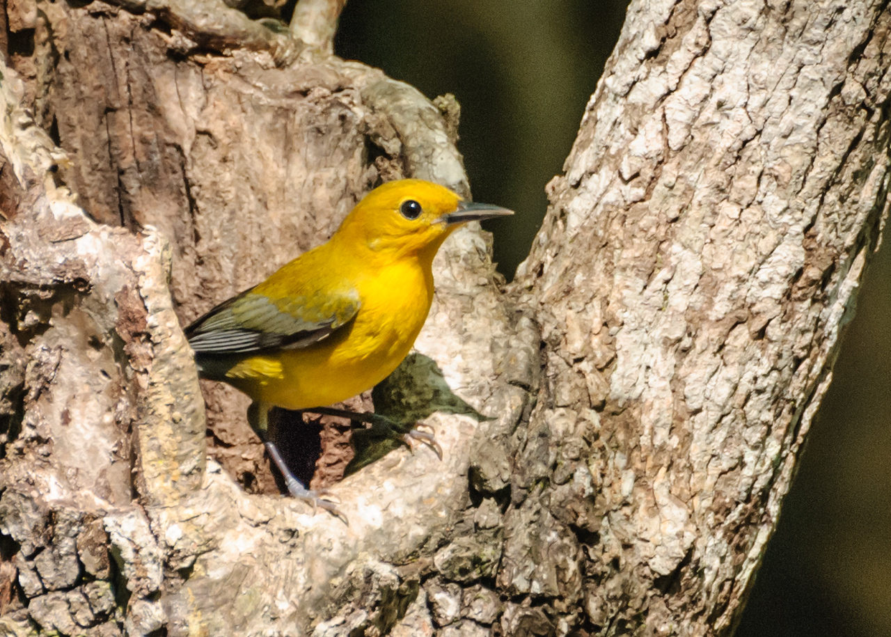 Prothonotary Warbler at Francis Beidler Forest