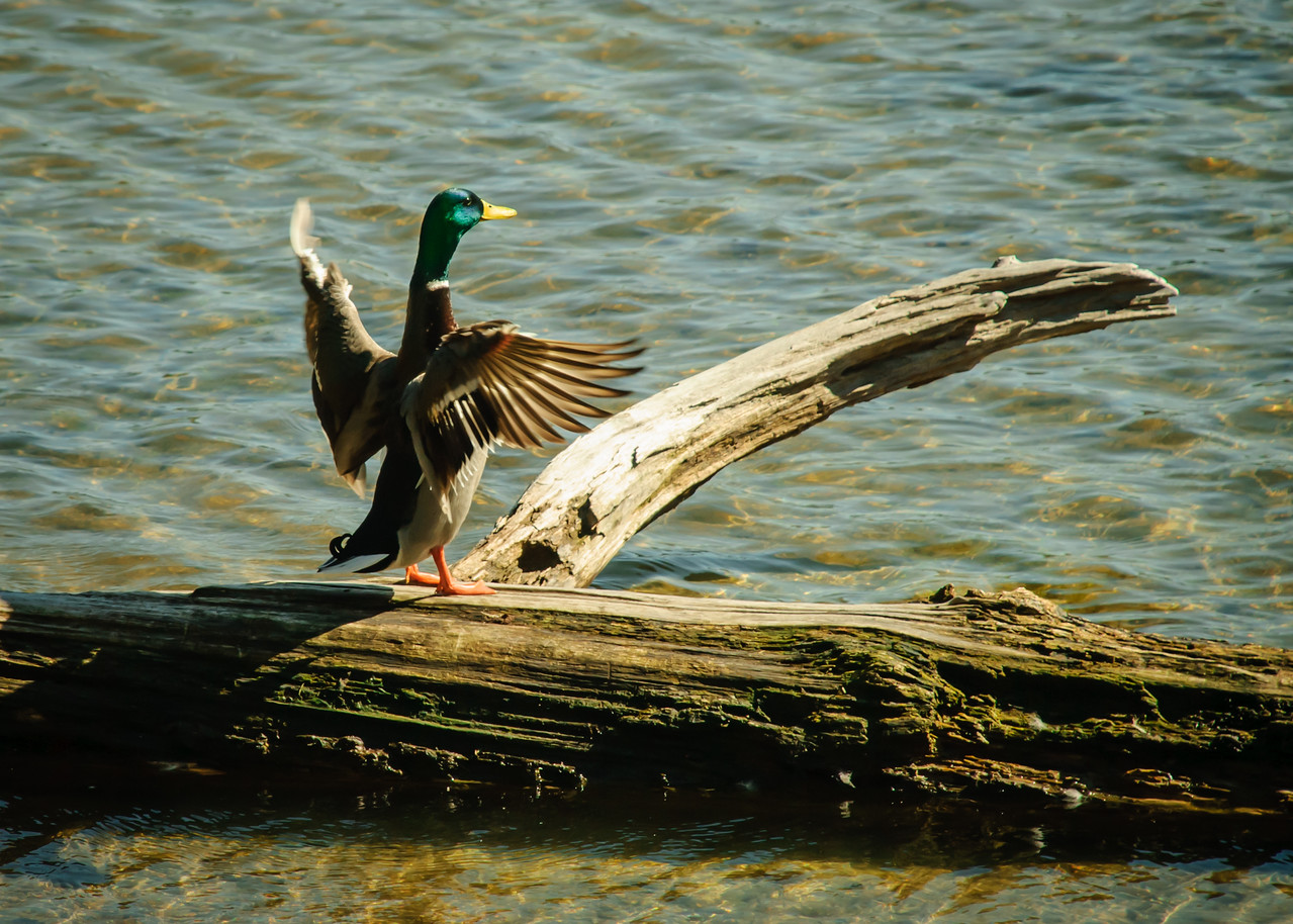 Mallard at Bass Lake