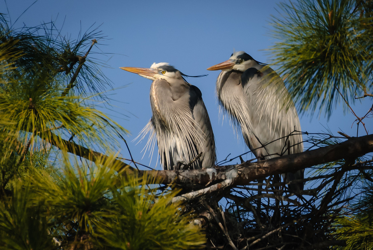 Great Blue Heron pair perching beside the nest