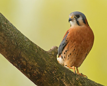 Perched American Kestrel