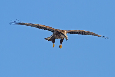 Juvenile Eagle In Flight