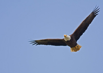 Eagle In Flight taken at Lake Erie in Ohio