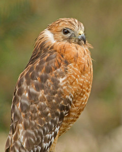 Majestic Red Tailed Hawk
