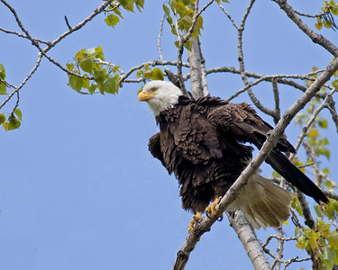 Eagle Resting In a tree.  Take in the Lake Erie Region.
