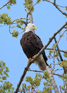 Eagle perched in a tree.  Taken in Ohio in the Lake Erie Region