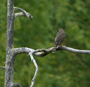 Sparrowhawk in the rain