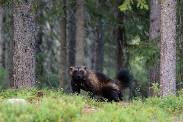Wolverine in the forest