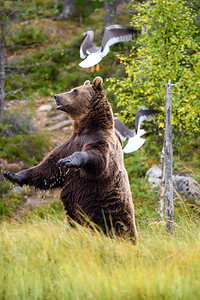 Brown bear vs seagull