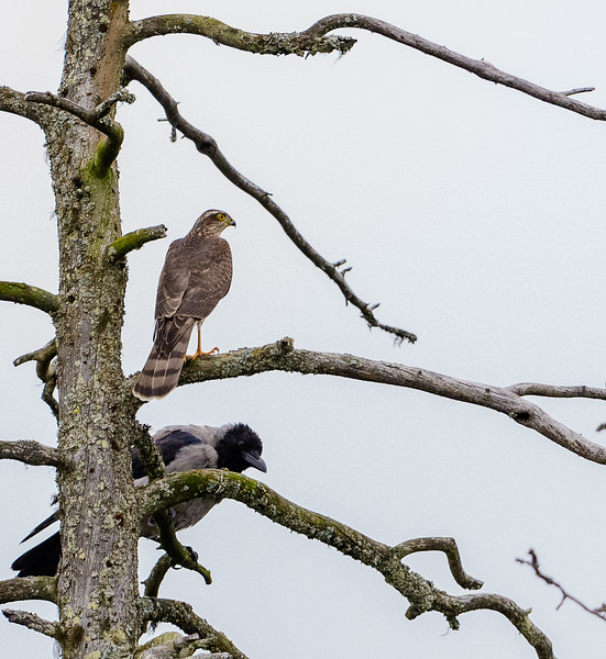 Sparrowhawk and hooded crow