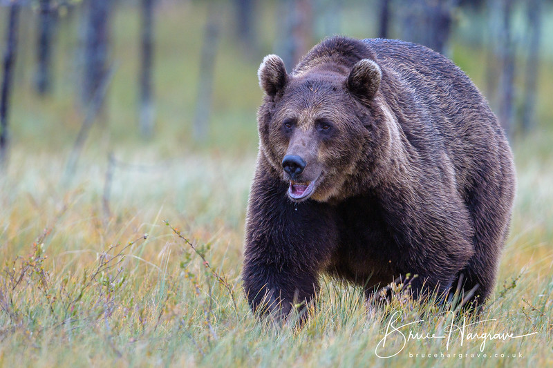 Look carefully at the bear's lower lip.  He has  some fishing line (a salmon trace?) stuck in his mouth.