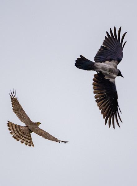 Crow vs sparrowhawk