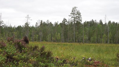 Bear passing by - video