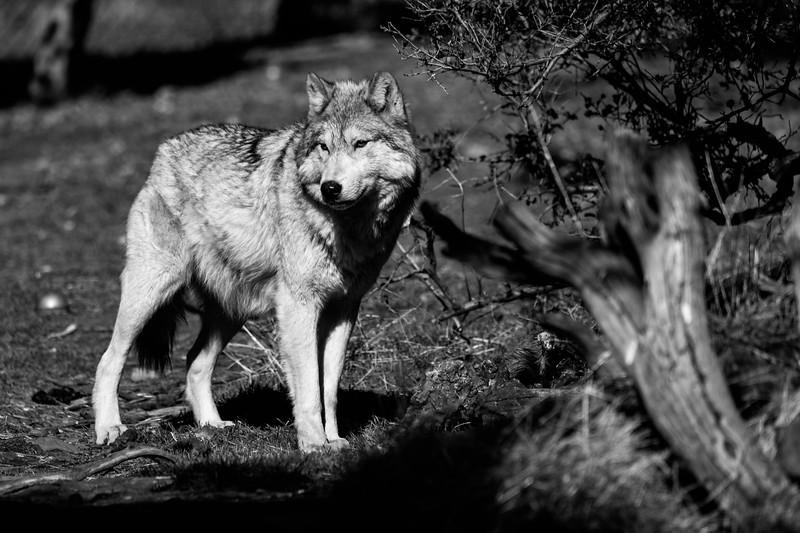 Wolves1219-218bw