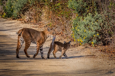 Bobcat With Kitten 2