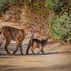 Bobcat With Kitten 2