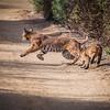 Bobcat with Palyfull Kitten 2