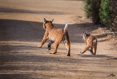 Bobcat with Palyfull Kitten 3
