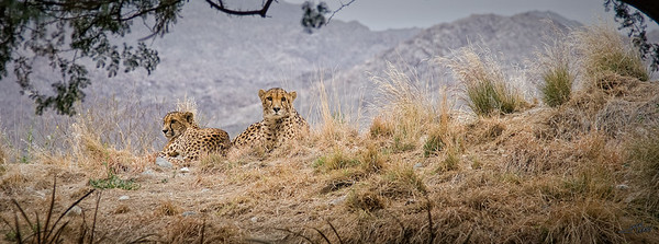 Cheetahs on the Ridge
