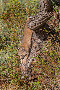 Bobcat Kitten in Tree