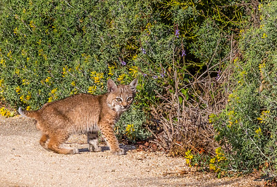 Bobcat Kitten-2