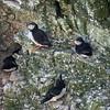 Atlantic Puffin (Fratercula arctica) and Razorbill (Alca torda)