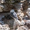 Kittiwake (Rissa tridactyla)