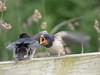 Young Barn Swallow (Hirundo rustica) begging for food.