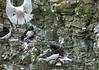 Kittiwake photobomb (Rissa tridactyla) - Razorbills (Alca torda) nesting.